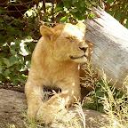 Löwe in der Serengeti © Foto: Ulrike Pârvu | Outback Africa Erlebnisreisen