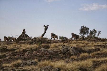 Muntii Simien - Etiopia: Babuini Gelada la apus