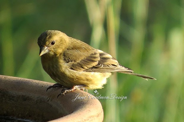 LesserGoldfinch_Female