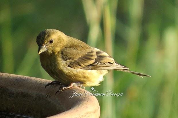 LesserGoldfinch_Female