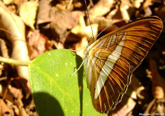 Adelpha cytherea aea (FELDER & FELDER, 1867). Pitangui (MG, Brésil), 17 août 2010. Photo : Nicodemos Rosa