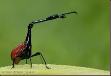 Amazing Pictures of Animals, photo, Nature, exotic, funny, incredibel, Zoo, Giraffe weevil, Insecta, Alex (10)
