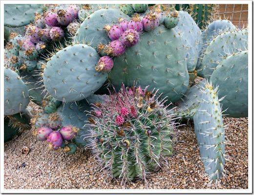 120928_SucculentGardens_opuntia- -ferocactus