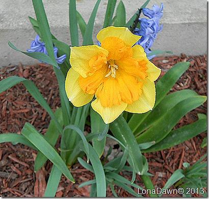 Daffodil_Centanees