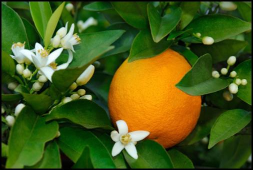 neroli blossom 2