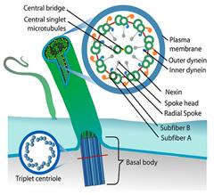 Sel eukariotik