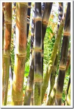 150325_SDBG_0185_dendrocalamus-asper-betung-hitam