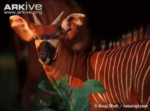 Amazing Pictures of Animals, photo, Nature, exotic, funny, incredibel, Zoo, Western or Lowland bongo, Tragelaphus eurycerus eurycerus, Mammals, Alex (13)