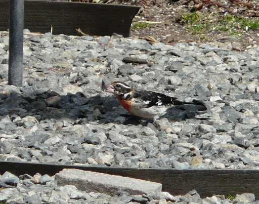 Male Rose-breasted Grosbeak in the yard, 3/23/13!