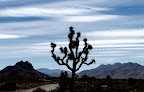 Joshua Tree in Joshua Tree National Park ( Photo by Rick Parker)<br /> ( Pic property of Harmony Motel)