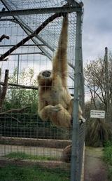 1993.03.08-109.07 gibbon