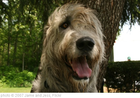 'Irish Wolfhound Show 034' photo (c) 2007, Jame and Jess - license: http://creativecommons.org/licenses/by-sa/2.0/