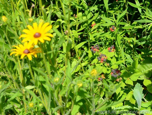 blackberries and black eyed susans