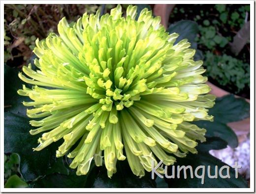 crisantemo 5