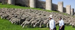 Amazing Pictures of Animals, Photo, Nature, Incredibel, Funny, Zoo, Mammals, Merino, Sheep, Alex (10)