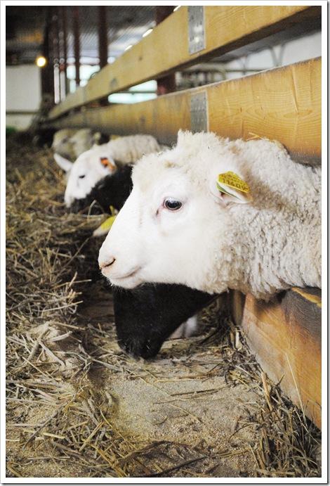 Ekologiska lamm