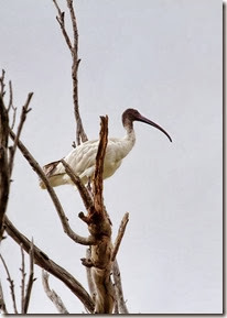 sacred-ibis