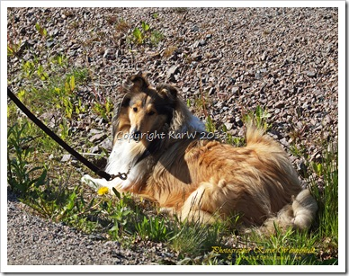 Our beloved dog! She took a rest in the ditch-bank when I was photograping the last pictures. She´s by my side all the time!