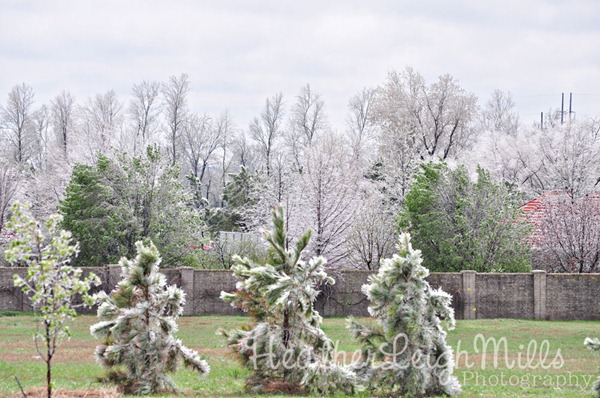 April-2013-Ice-Storm-Pine-T