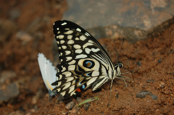 Papilio erithonioides GROSE-SMITH, 1891, endémique. Au second plan, Mylothris sp. Réserve d'Ankarafantsika (50 km à l'est de Majunga), 210 m d'altitude, 7 février 2011. Photo : T. Laugier