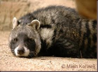 Amazing Pictures of Animals, photo, Nature exotic, funny, incredibel, Zoo, African civet, mammals, Alex (5)