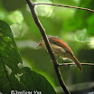 Rufous-winged Philentoma-02.jpg