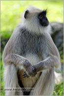 _P6A2129_grey_langur_monkey_mudumalai_bandipur_sanctuary