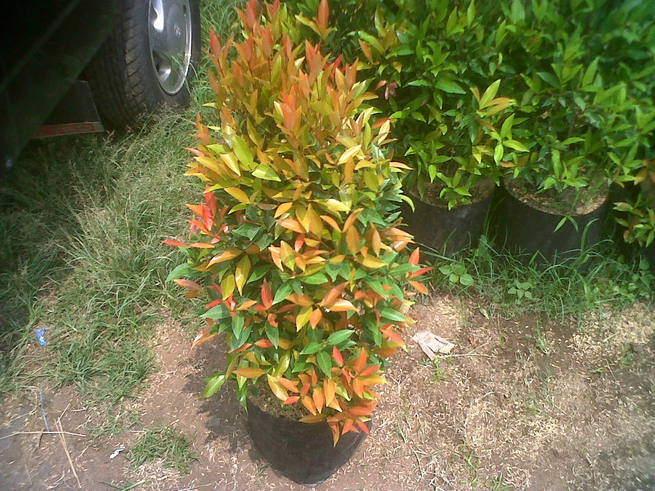 pohon-pucuk-merah-tanaman-hias.jpg