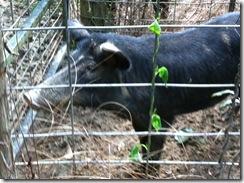 hogs 009