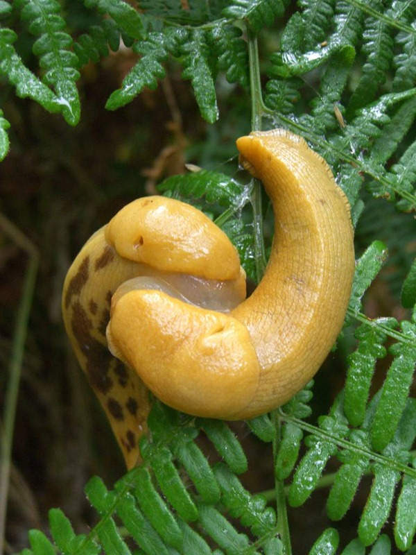 banana slug Ariolimax columbianus 19
