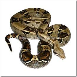 Cobra não venenosas