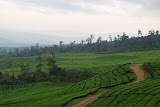 The Dempo tea plantation (Tim Hannigan, January 2011)