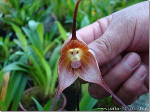 Monkey Orchids (6)