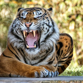 by Heather Allen - Animals Lions, Tigers & Big Cats ( sengal, cat, nikon., tiger, tongue, miami, stripes, teeth, zoo, d800, whiskers, fur, claw,  )