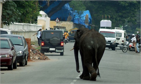 Elephants Invade Indian Town, Chaos Ensues 02