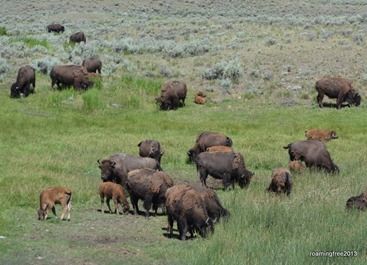 Bison Herd at Slough Creek