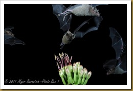 Bats and More Bats DSC_3249  NIKON D300S September 18, 2011
