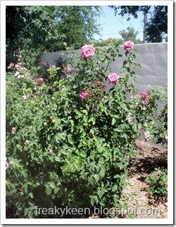 MCC Rose Garden 16