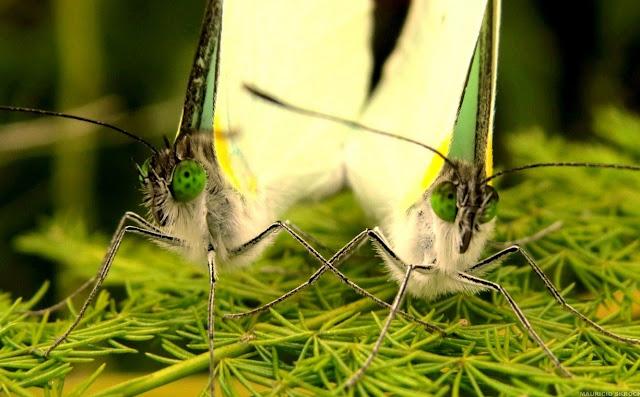 Leptophobia aripa balidia (BOISDUVAL, 1836). Environs de Curitiba (Paraná), 20 juillet 2013. Photo : Mauricio Skrock