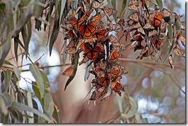 Monarch-Butterflies-2008