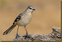Northern Mockingbird - Minus polyglottos