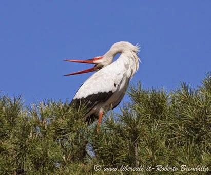16_Cicogna bianca (63)
