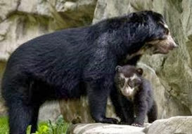 Amazing Pictures of Animals, Photo, Nature, Incredibel, Funny, Zoo, Spectacled bear, Tremarctos ornatus, Mammals, Alex (12)