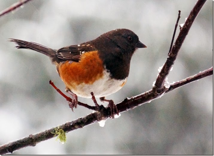lopez towhee in the snow 122013 00007