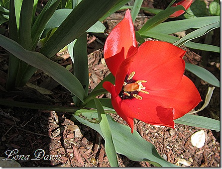 Tulip_RedHunter3_Species