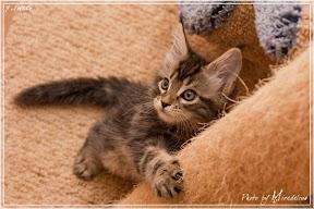 Фото история котят мейн кун в возрасте 7,5 недель 13