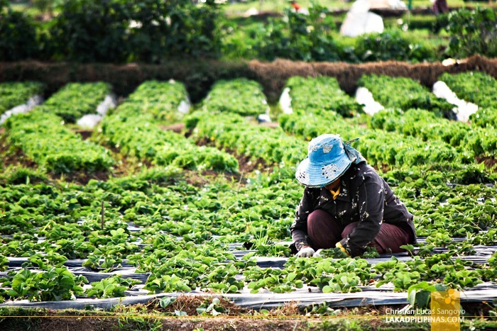 Tending Strawberries at La Trinidad's Strawberry Farm