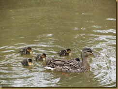 IMG_0756 ducklings