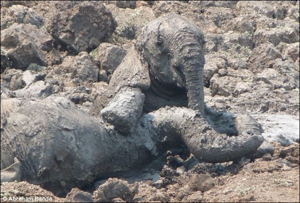 The mud dries quickly making their mistake harder and the window of time for rescue much shorter