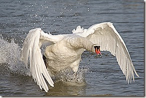 swan on the rampage